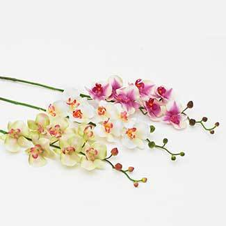 symphony_orchid